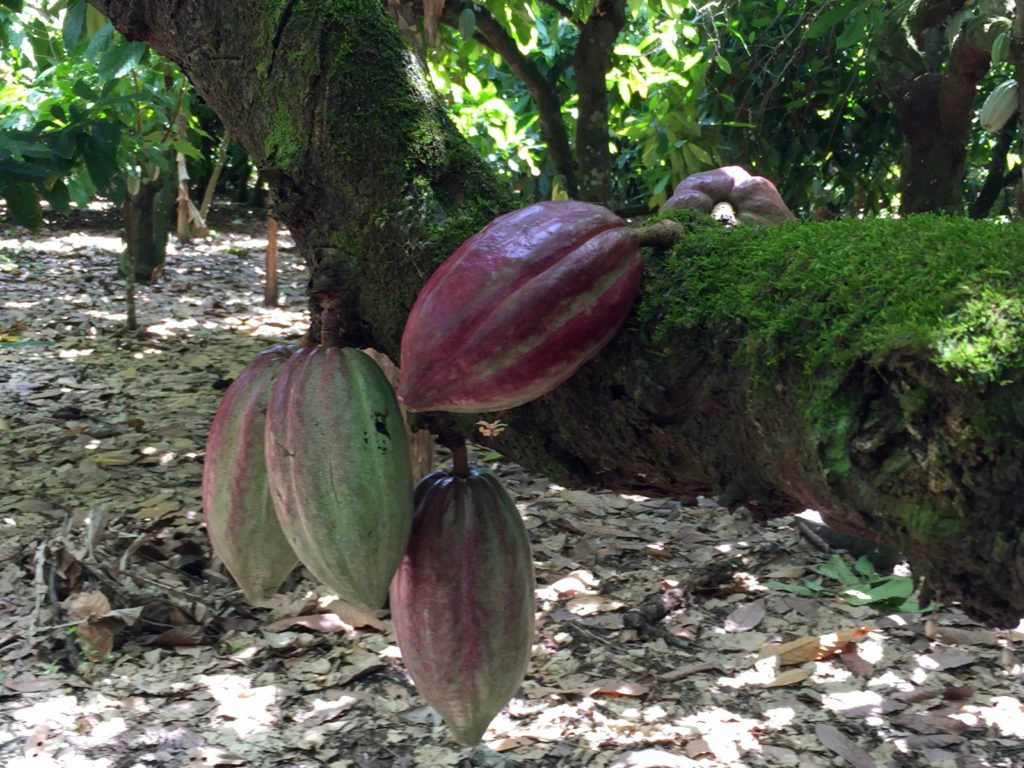 Another kind of cocoa pod