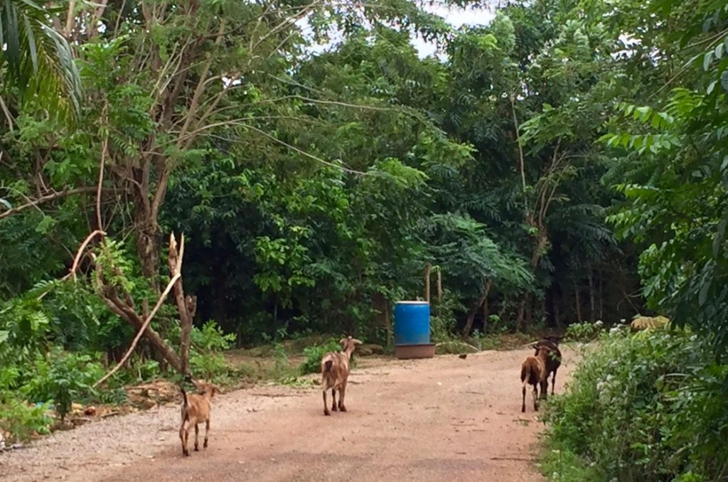 Sharing the right road with goats