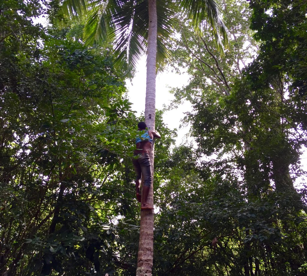 Shinny up a coconut palm 3