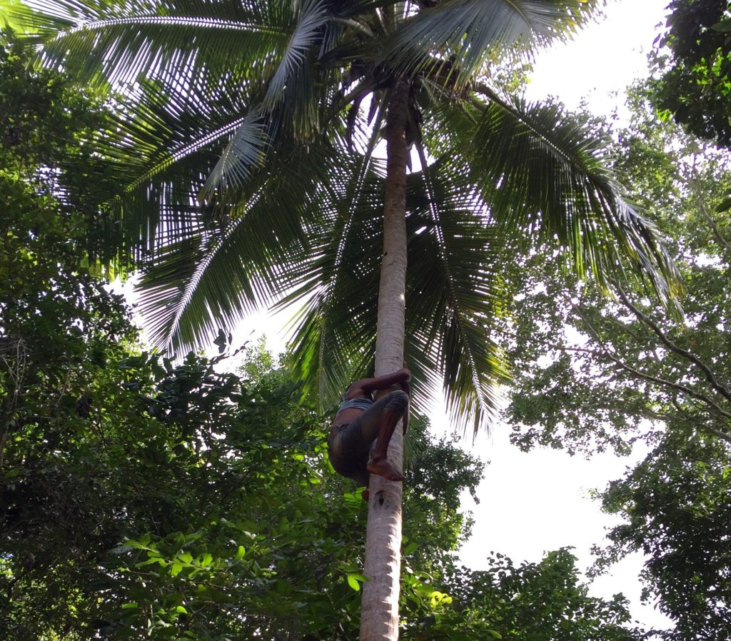 Shinny up a coconut palm 5