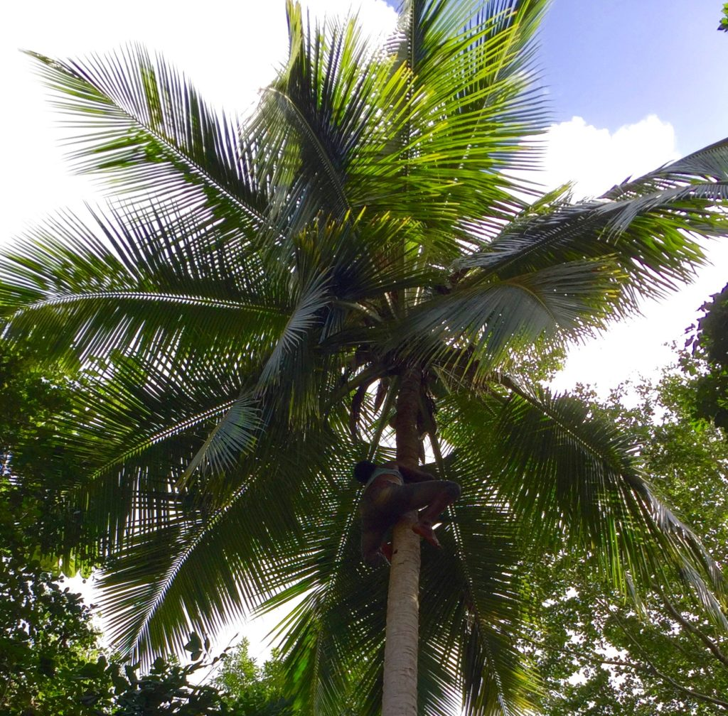 Shinny up a coconut palm 7