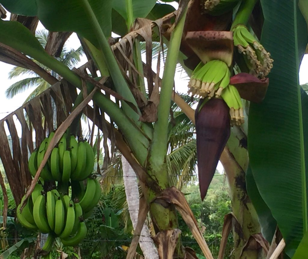 Bananas at different stages
