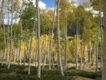 Pando Forest